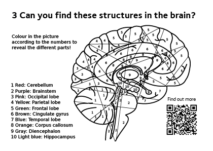 Colouring task, teaching the different areas of the brain.
